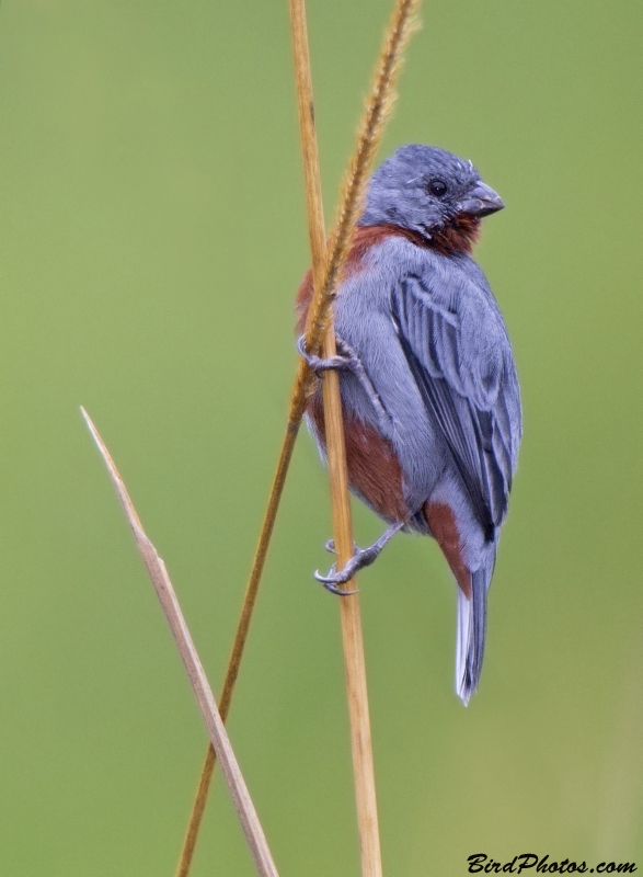 Chestnut-bellied Seedeater