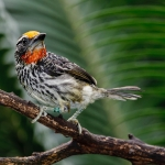 New World Barbets