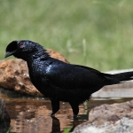 Bristle-crowned Starling