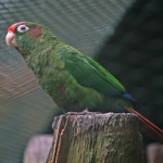 Blood-eared Parakeet
