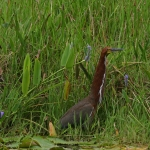 Rufescent Tiger Heron