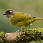 Common Bush Tanager
