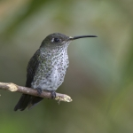 Many-spotted Hummingbird