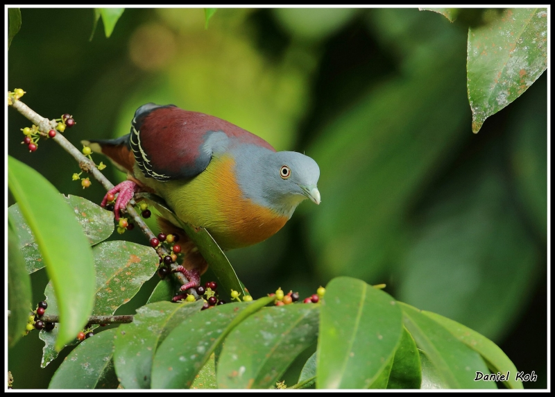 Little Green Pigeon