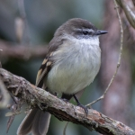 White-throated Tyrannulet