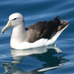 Salvin's Albatross
