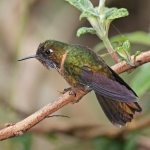 Orange-throated Sunangel