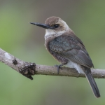 Pale-headed Jacamar