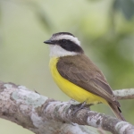 White-bearded Flycatcher