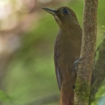 White-chinned Woodcreeper