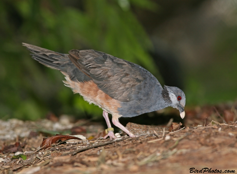 Thick-billed Ground Pigeon