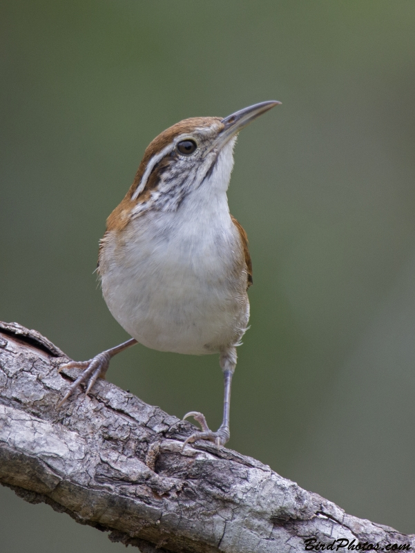 Rufous-and-white Wren