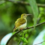 Thick-billed Spiderhunter