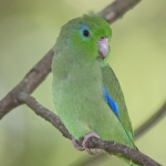 Spectacled Parrotlet