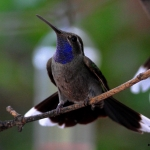 Blue-throated Mountaingem