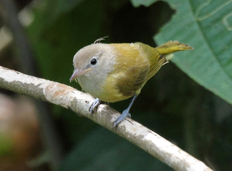 Dusky-capped Greenlet