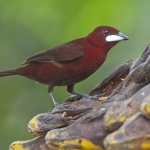 Silver-beaked Tanager
