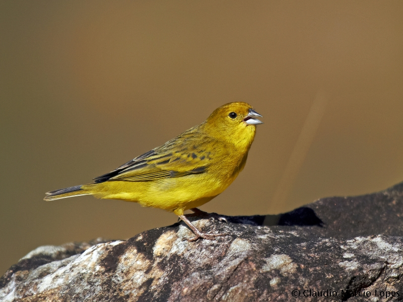 Stripe-tailed Yellow Finch