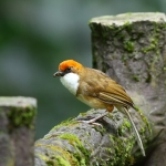 White-throated Laughingthrush