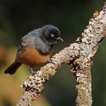 Rufous-bellied Tit