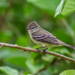 Plain-crested Elaenia