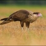 Northern Crested Caracara