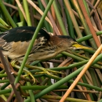 Black-backed Bittern