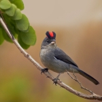 Grey Pileated Finch