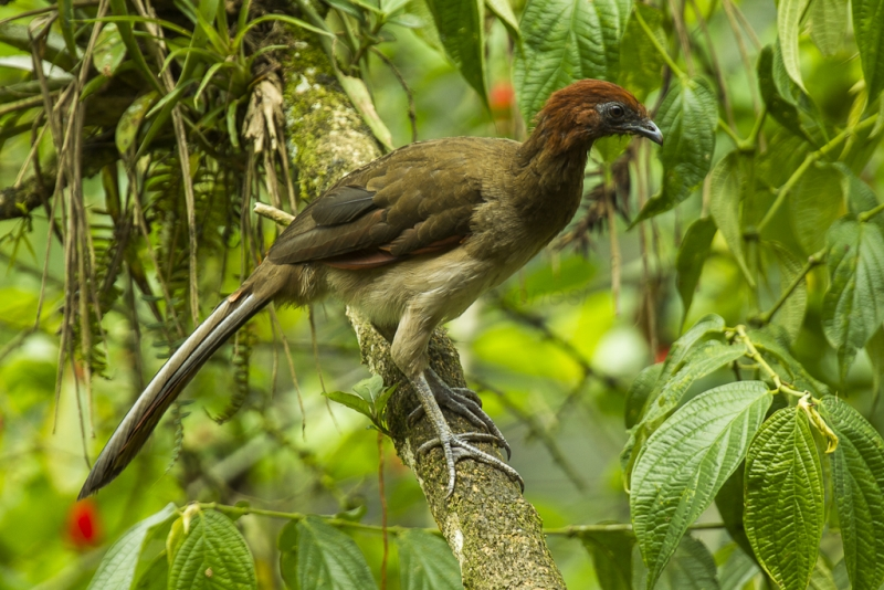 Rufous-headed Chachalaca