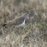 Brown-chested Lapwing