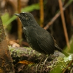 Northern White-crowned Tapaculo
