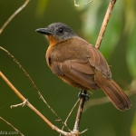 Blackish-grey Antshrike