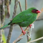 Grass-green Tanager