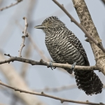 Bar-crested Antshrike
