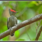 Grey-and-buff Woodpecker