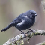 White-sided Flowerpiercer