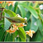 Chestnut-flanked White-eye