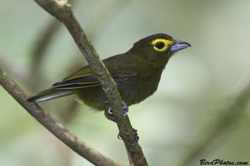 Lemon-spectacled Tanager