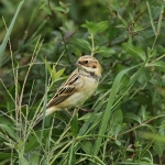Pallas's Reed Bunting