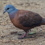 Blue-headed Wood Dove