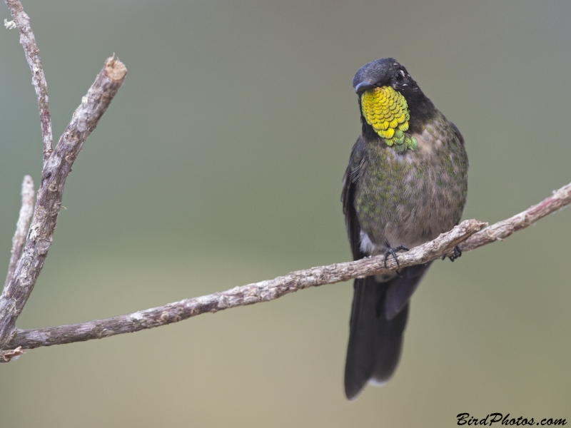 Black-backed Thornbill