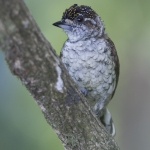 Scaled Piculet