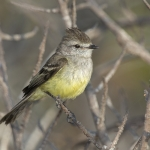 Northern Scrub Flycatcher
