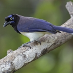Black-chested Jay