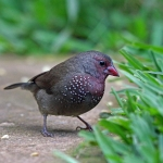 Brown Firefinch