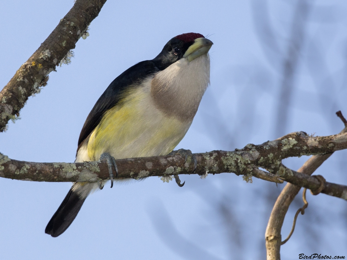 White-mantled Barbet