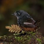 Stiles's Tapaculo