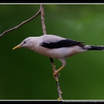 White-headed Starling