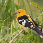 Grosbeaks, Saltators, etc.