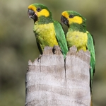 Yellow-eared Parrot